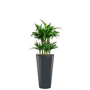 Deluxe All in 1 Hydrocultuur Dracaena janet craig rond antraciet