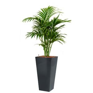 Deluxe All in 1 Hydrocultuur Kentia palm forsteriana vierkant antraciet