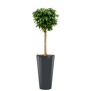 Premium All in 1 Hydrocultuur Ficus benjamina columnar rond antraciet