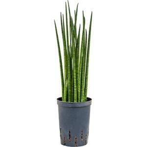 Sansevieria bacularis S hydrocultuur plant