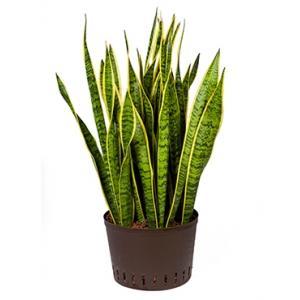Sansevieria laurentii XL hydrocultuur plant