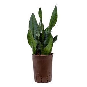 Sansevieria zeylanica compacta hydrocultuur plant