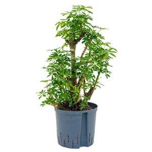 Schefflera louisiana L hydrocultuur plant
