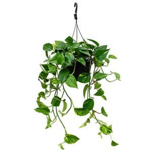 Scindapsus epipremnum aureum M hangplant