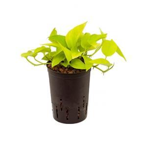Scindapsus golden pothos hydrocultuur hangplant