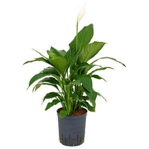 Spathiphyllum gokyo M hydrocultuur plant