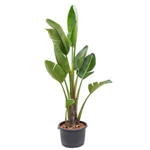 Strelitzia nicolai XL hydrocultuur plant