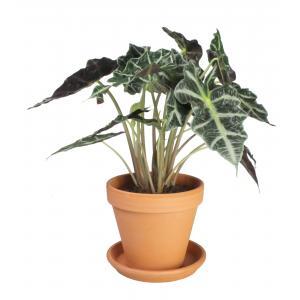 Alocasia polly M kamerplant in terracotta bloempot