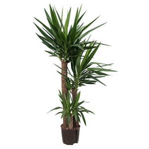 Yucca trio hydrocultuur plant