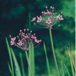 Zwanenbloem (Butomus umbellatus) moerasplant