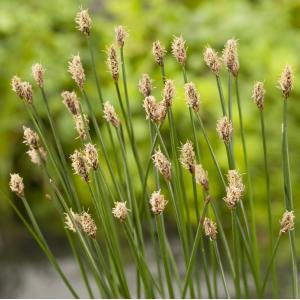Gewone waterbies (Eleocharis palustris) moerasplant