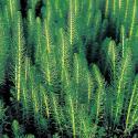 Lidsteng (Hippuris vulgaris) zuurstofplant