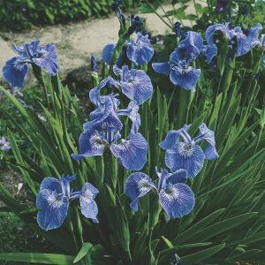 Borstelige iris (Iris Setosa) moerasplant