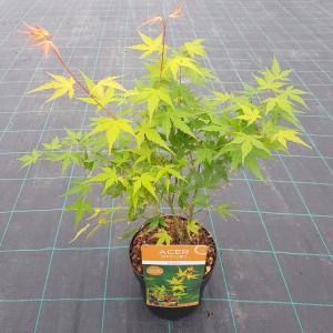 "Japanse esdoorn (Acer palmatum ""Katsura"") heester"