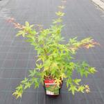 """Japanse esdoorn (Acer palmatum """"Sangokaku"""") heester"""