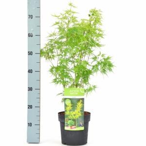 "Japanse esdoorn (Acer palmatum ""Seiryu"") heester"