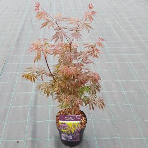 """Japanse esdoorn (Acer palmatum """"Trompenburg"""") heester"""
