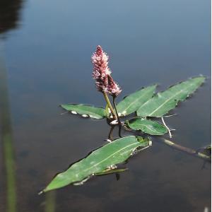 Veenwortel (Polygonum amphibium) drijfplant