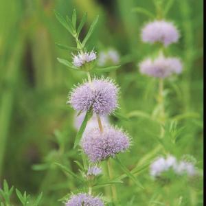 Engelse watermunt (Preslia cervina) moerasplant
