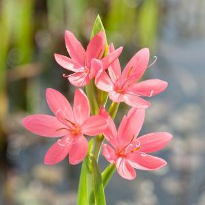 "Roze kafferlelie (Schizostylis coccinea ""Mrs Hegarty"") moerasplant"