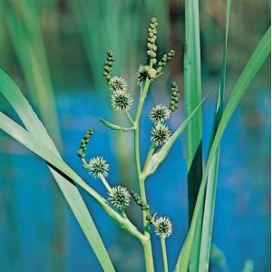 Grote egelskop (Sparganium erectum) moerasplant