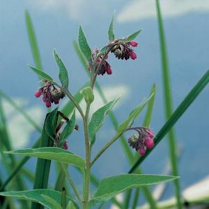Gewone smeerwortel (Symphytum officinale) moerasplant