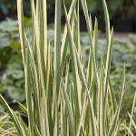 "Bonte kalmoes (Acorus calamus ""variegatus"") moerasplant"