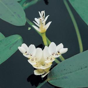 Kaapse waterlelie (Aponogeton Distachyos) waterlelie