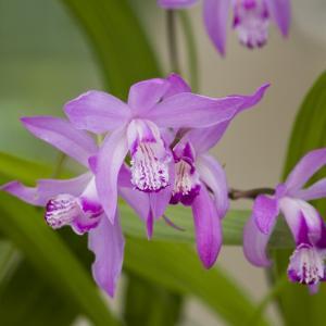 Japanse orchidee (Bletilla striata) moerasplant