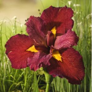 Rode Japanse iris (Iris Louisiana Ann Chowning) moerasplant