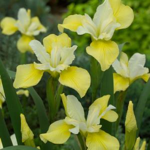 "Gele Siberische iris (Iris Sibirica ""Butter and Sugar"") moerasplant"