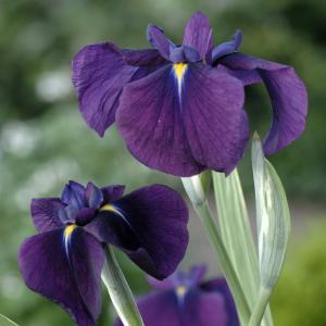 "Bonte Japanse iris (Iris ensata ""Variegata"") moerasplant"