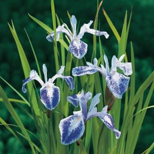 "Gevlekte Japanse iris (Iris laevigata ""Mottled Beauty"") moerasplant"
