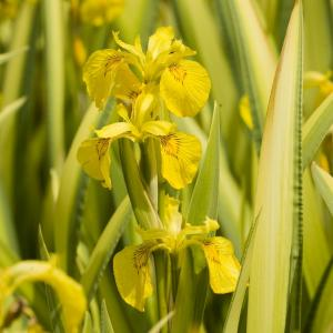 "Bonte gele iris (Iris pseudacorus ""variegata"") moerasplant"
