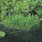 Braziliaanse grasplant (Lilaeopsis Brasiliensis) zuurstofplant
