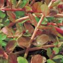 Rotala (Rotala indica) zuurstofplant