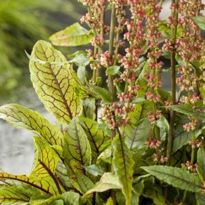 Bonte waterzuring (Rumex sanguinea) moerasplant