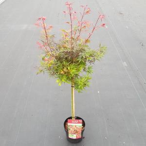 "Japanse esdoorn op stam (Acer palmatum ""Shaina"") heester"