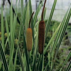 """Grote bonte lisdodde (Typha latifolia """"variegata"""") moerasplant"""