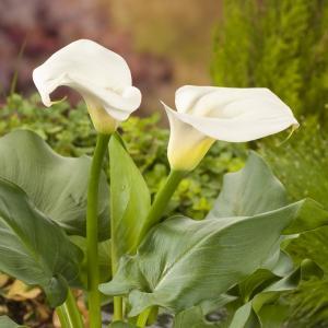 Witte aronskelk (Zantedeschia aethiopica) moerasplant