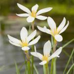 Witte westenwindbloem (Zephyranthes candida) moerasplant