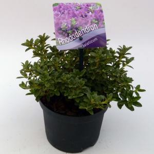 "Dwerg rododendron (Rhododendron Calostrotum ""Keleticum"") heester"