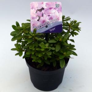 """Dwerg rododendron (Rhododendron """"Snipe"""") heester"""