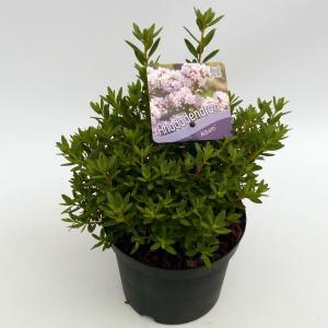 "Dwerg rododendron (Rhododendron Impeditum ""Album"") heester"