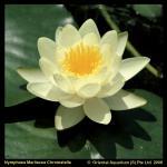 """Gele waterlelie (Nymphaea """"Marliacea Chromatella"""") waterlelie"""