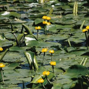 Gele plomp (Nuphar lutea) waterlelie