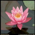 Roze waterlelie (Nymphaea Firecrest) waterlelie