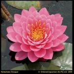 Roze waterlelie (Nymphaea fire opal) waterlelie