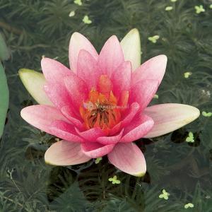 Roze waterlelie (Nymphaea Laydekeri Lilacea) waterlelie