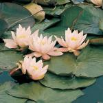 Roze waterlelie (Nymphaea Marliacea Carnea) waterlelie